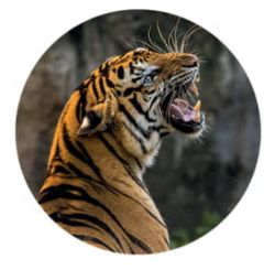 Nálepka na senzor Freestyle Libre - tygr